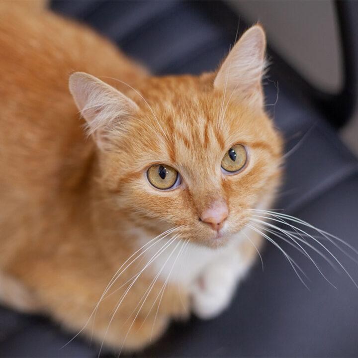 Рудий кіт Рижуля