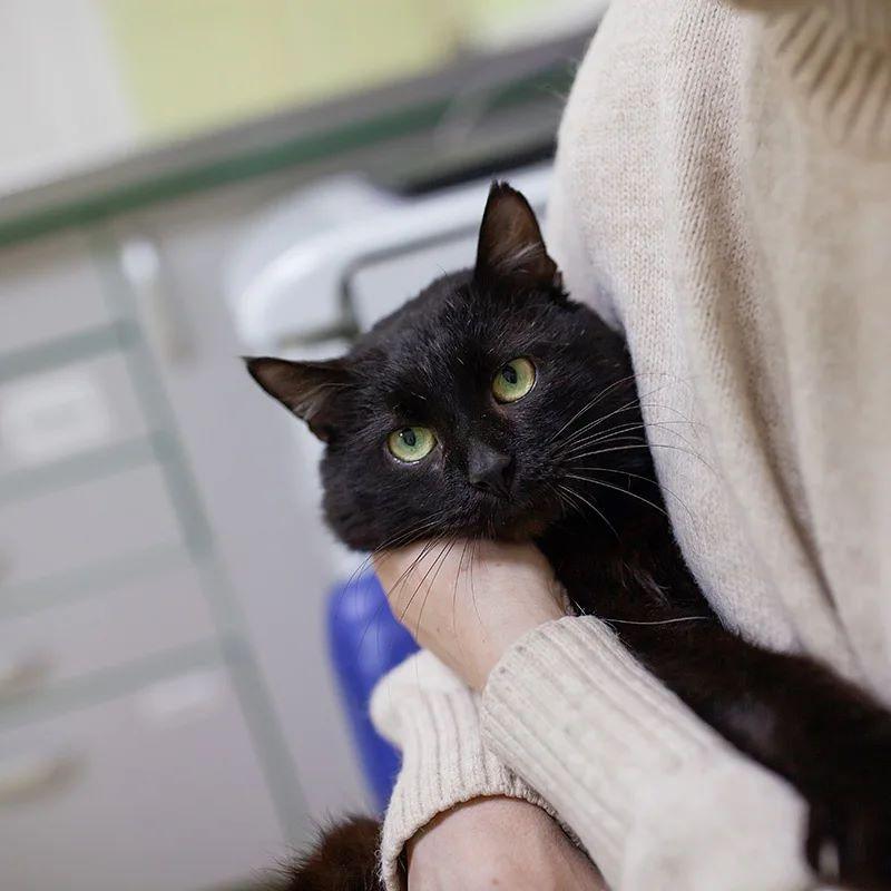 Чорниш кіт