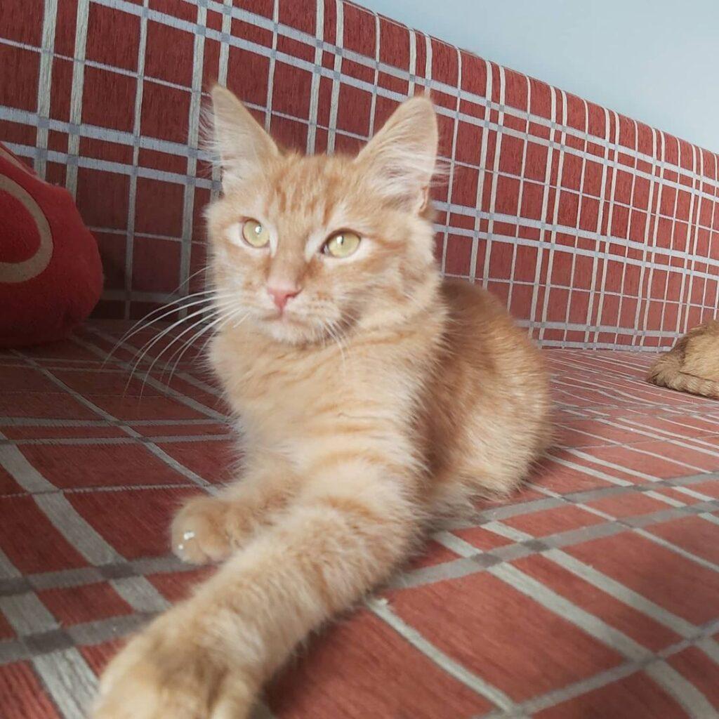 Рудий кіт Бісквіт шукає дім