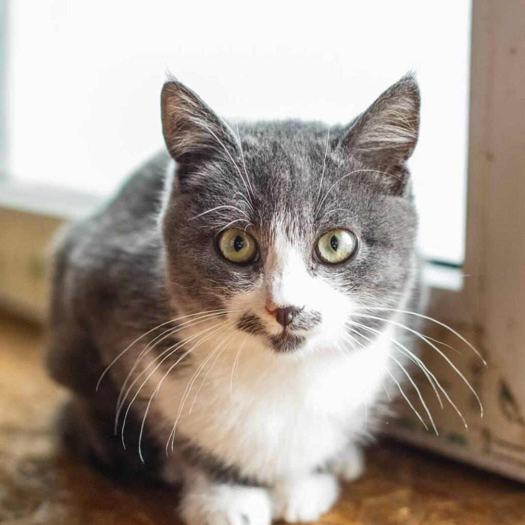 сірий котик Бафф