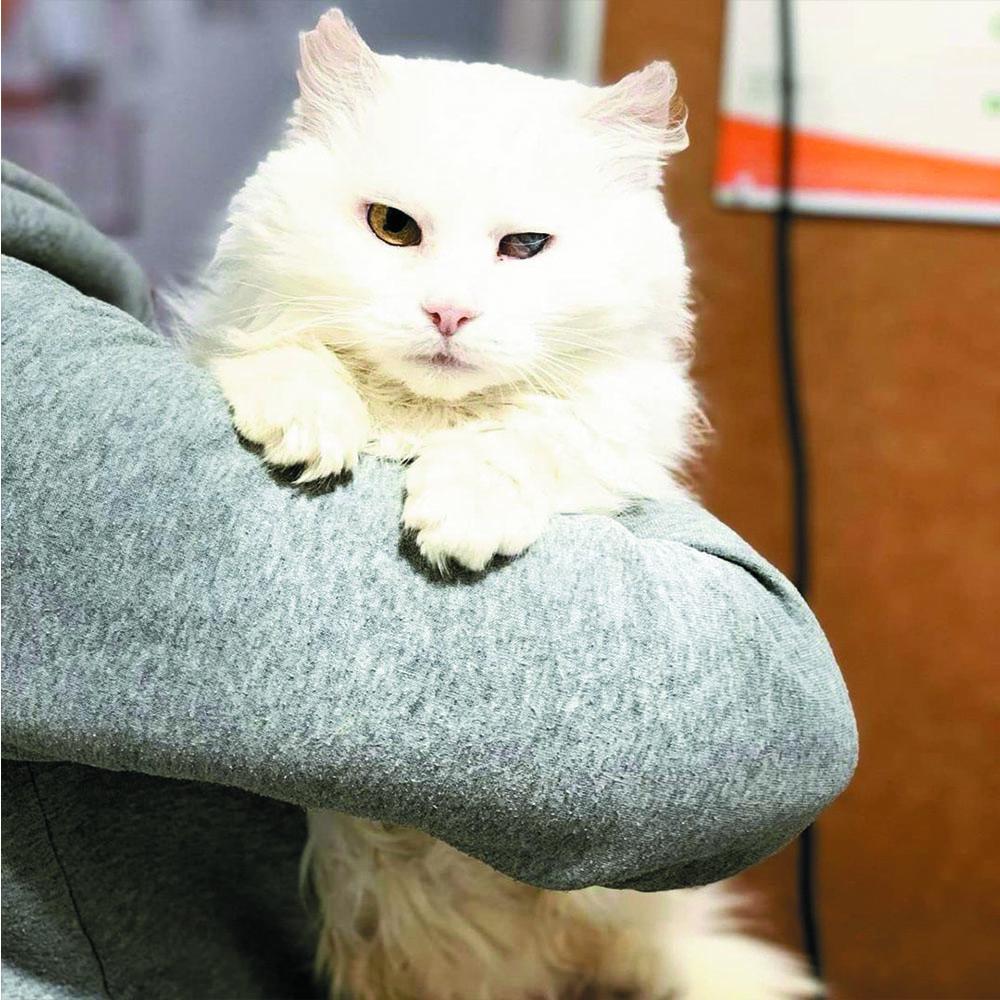 білосніжна кішка