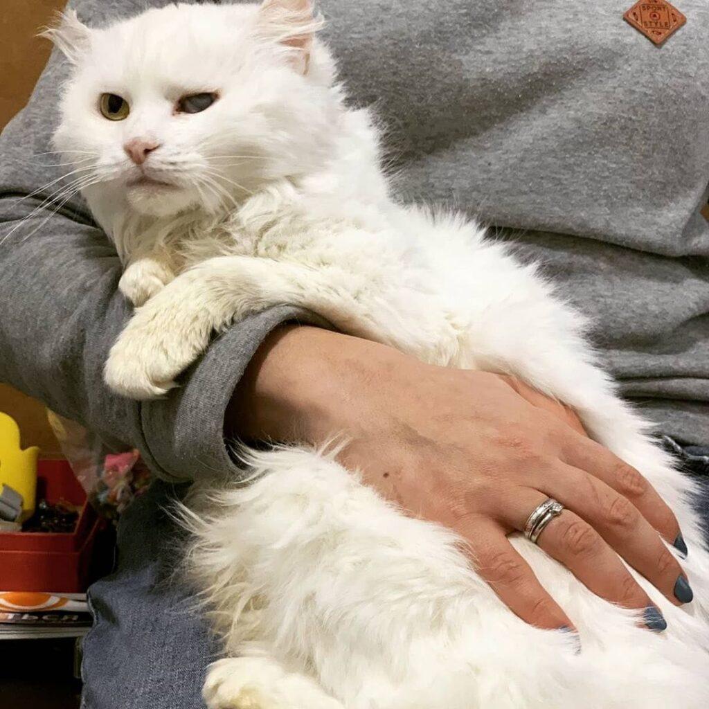 доросла кішка