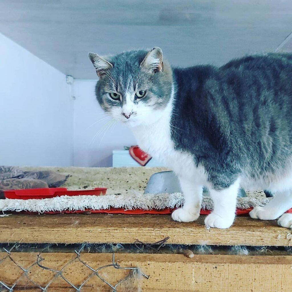 Честер сірий кіт