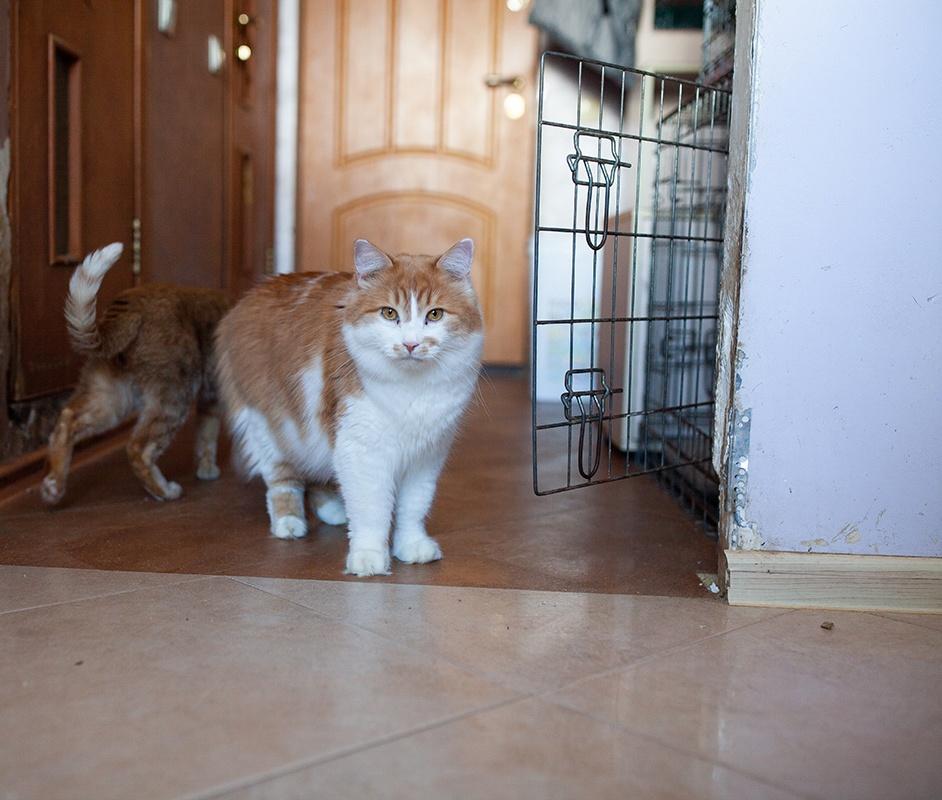 Михасик біло рудий кіт