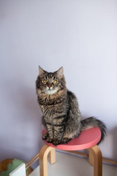 пухнастий котик