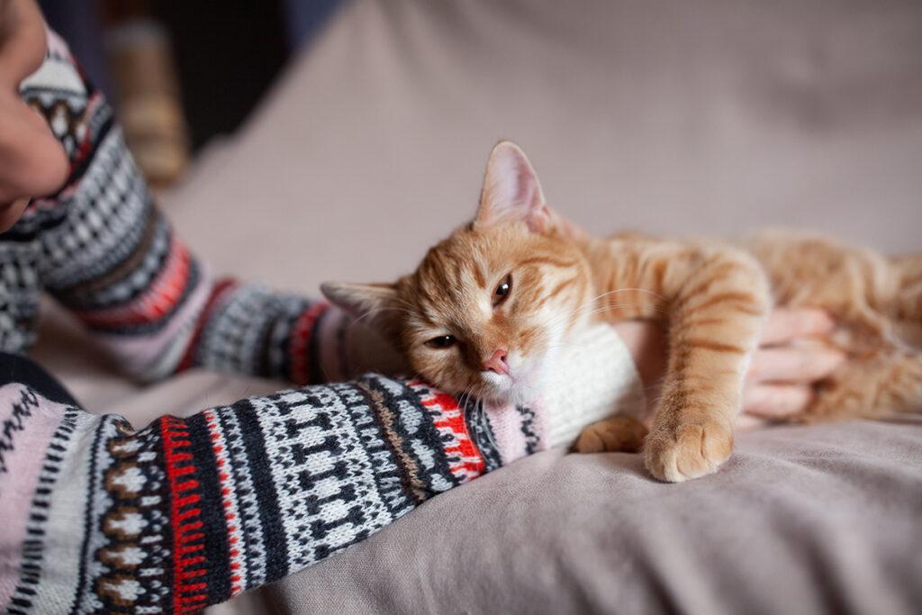 Рижий котик Вайлд шукає дім.
