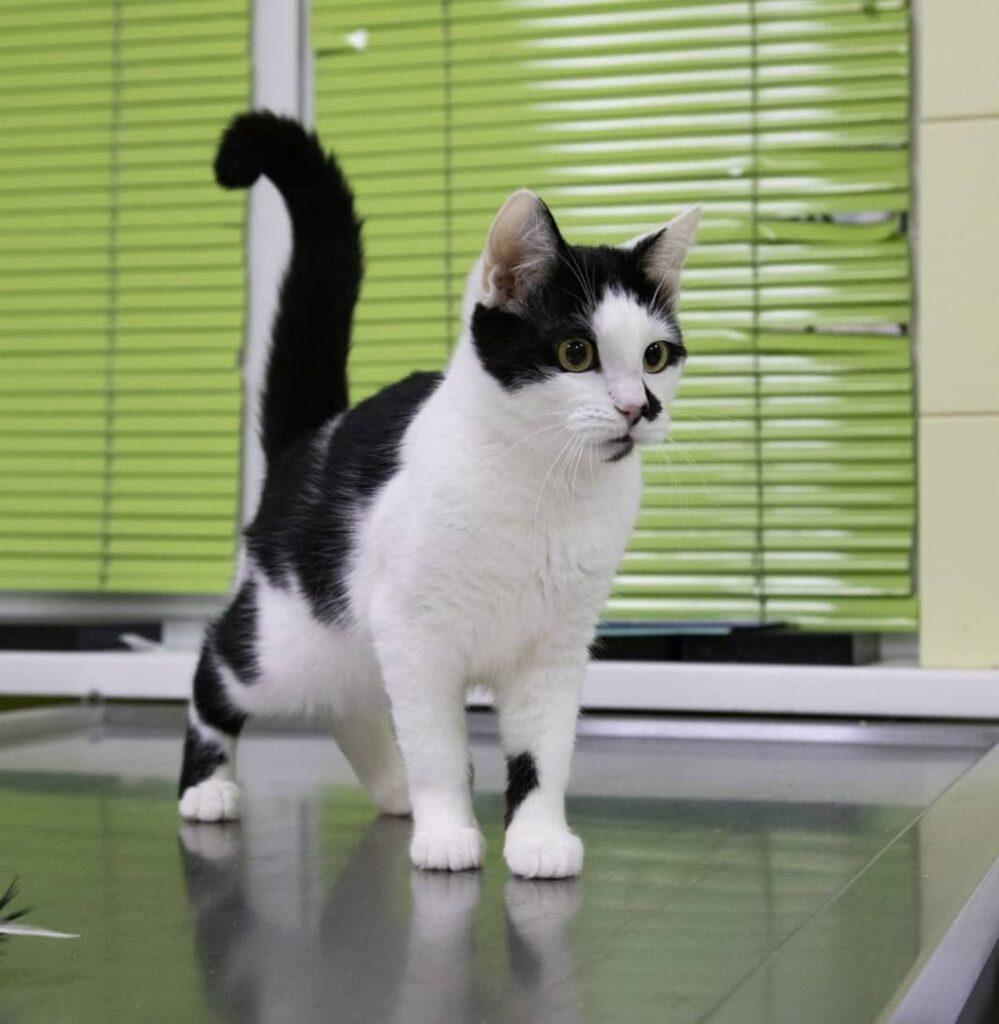 Джонні чорно білий кіт
