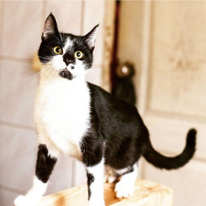 Чорно білий кіт Лукас