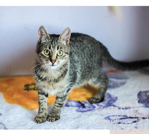 Інфекційний перитоніт котів або FIP